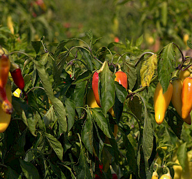 Hot pepper on Halkidiki Peninsula, Greece. Photo via Flickr:Marcus