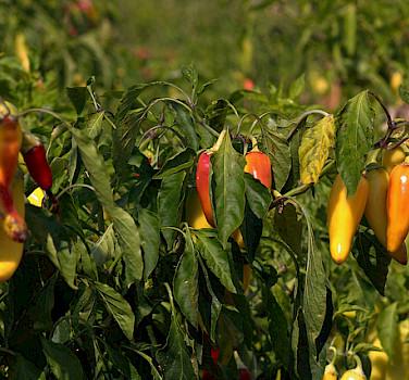 Hot pepper on Halkidiki Peninsula, Greece. Photo via Flickr:Marcus
