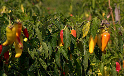 Hot peppers on Halkidiki Peninsula, Greece. Flickr:Marcus