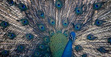 Peacocks at Udawalawa National Park in Sri Lanka. Flickr:Dananjaya Chathuranga Photography