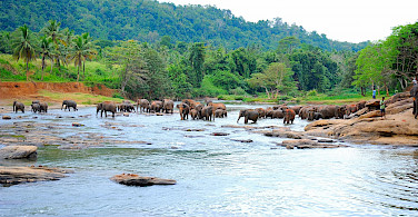Elephants bathing in Sri Lanka. Flickr:Guido Bramante