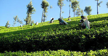Tea plantation on the way to Kotagala, Sri Lanka. Photo courtesy of Spice Roads.