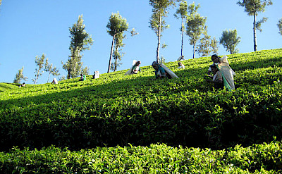 Tea plantation on the way to Kotagala, Sri Lanka. Photo via TO