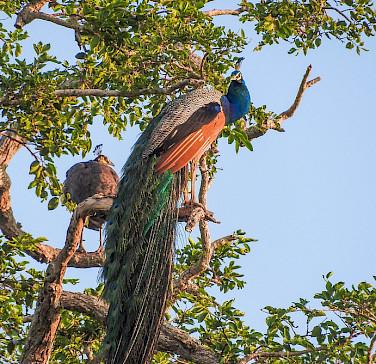 Udawalawa National Park in Sri Lanka. Flickr:Dananjaya Chathuranga Photography