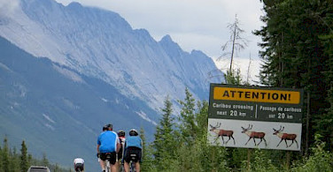 Caribou crossing in Alberta, Canada. Photo courtesy of Tour Operator.