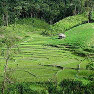 Biking past rice fields in Thailand. Photo via Flickr:Vincent Lit