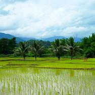 Many rice paddies in Thailand. Photo via Flickr:momo