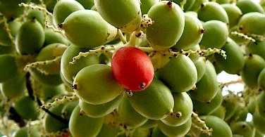 One ripe coffee bean for picking on Alona Beach, Panglao Island, the Philippines. Photo via Flickr:yeowatzup