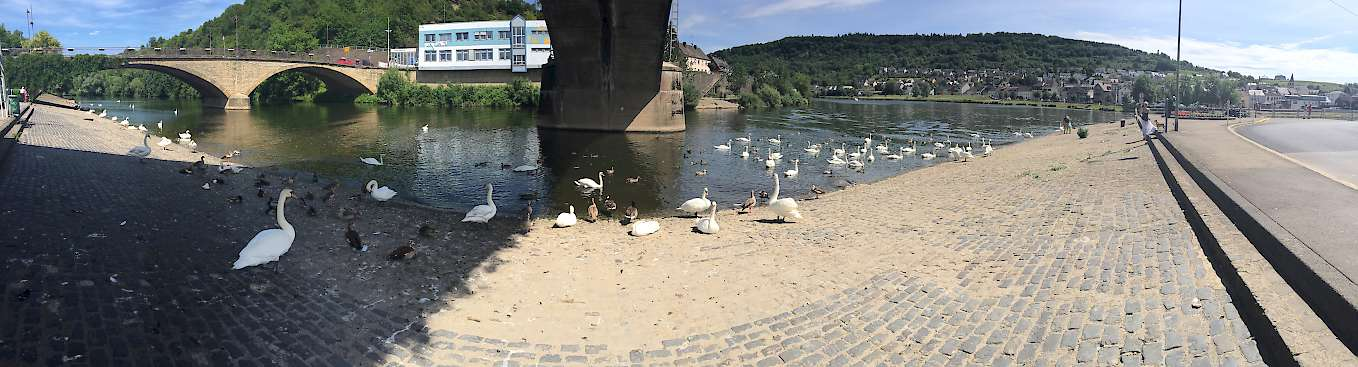 Mosel River Panorama Including Beautiful Mosel Swans