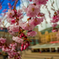 Cherry Blossoms at Kungsträdgården, Stockholm, Sweden. Photo via Flickr:chas B