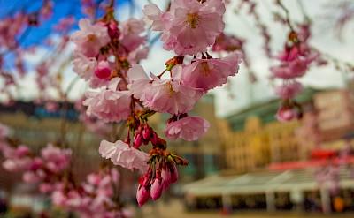Cherry Blossoms at Kungsträdgården, Stockholm, Sweden. Flickr:chas B