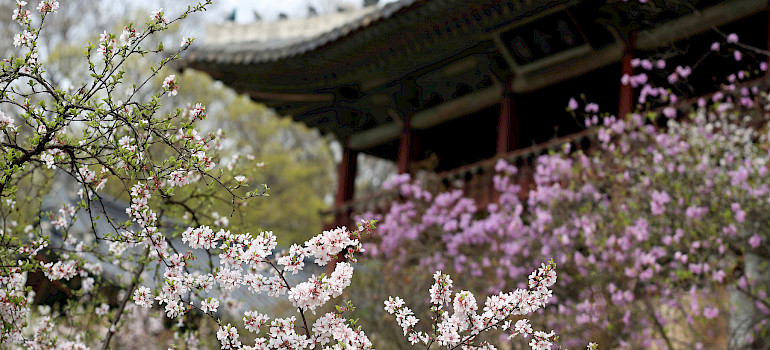 Cherry blossoms surround the temples in Seoul, South Korea. Photo via Flickr:Republic of Korea