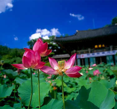 Lotus flowers blooming in Seoul, South Korea. Photo via Flickr:Sunkee Hwang