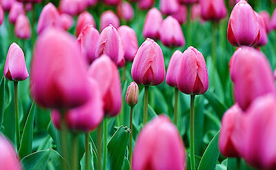 Pink tulips in Holland. Flickr:kaybee07
