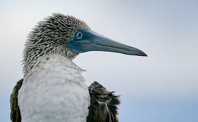 Up close to the Blue-footed Booby Bird on the Galapagos Islands, Ecuador. Flickr:Pedro Szekely