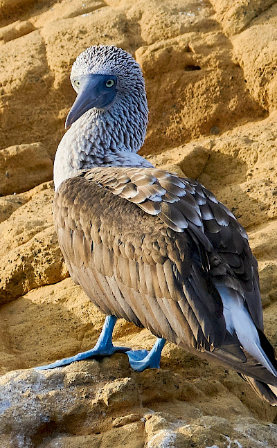 Blue-footed Booby Bird on the Galapagos Islands, Ecuador. Flickr:Pedro Szekely