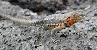 Lava lizard on Puerto Villamil, Isabel Island, Galapagos Islands, Ecuador. Photo via Flickr:Mikko Koponen
