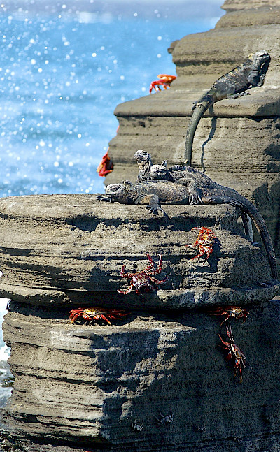 Marine iguanas and Sally Lightfoot crabs, Galapagos Islands, Ecuador. Flickr:Les Williams