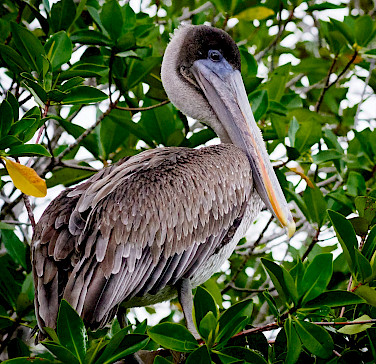 Pelican on the Galapagos Islands, Ecuador. Flickr:Pedro Szekely