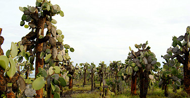 Prickly pear forest on Santa Cruz Island, Galapagos Islands, Ecuador. Photo via Flickr:Dallas Krentzel