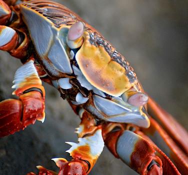 Sally Lightfoot crabs are everywhere on Galapagos Islands, Ecuador. Photo via Flickr:oliver.dodd