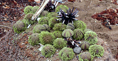 Sea urchins on Floreana Island, Galapagos Islands, Ecuador. Photo via Flickr:claumoho