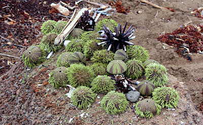 Sea urchins on Floreana Island, Galapagos Islands, Ecuador. Flickr:claumoho