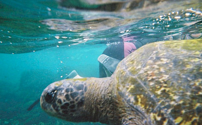 Snorkeling with sea turtles on Isabela Island, Galapagos Islands, Ecuador. Flickr:Karen Wilson