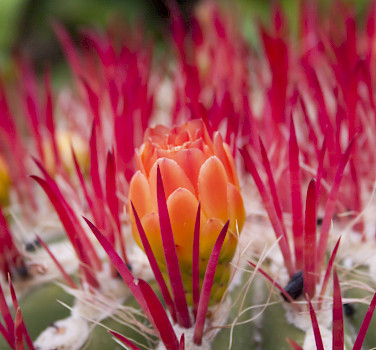 Cactus flower on the Spanish island of Lanzarote, part of the Canary Islands. Photo via Flickr:malink_78