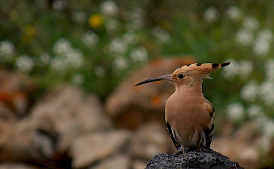 Hoopoe bird in Haria, Lanzarote, Canary Islands. Photo via Flickr:Frank Vassen