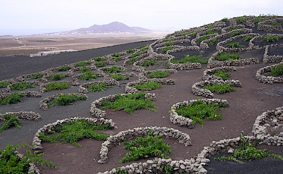 Vines on La Geria being protected from the wind by semi-circular stone walls. Lanzarote, Canary Islands. Photo via Flickr:Yummifruitbat