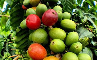 Coffee bean for picking at Kailu Kona Coffee Plantation, Hawaii. Photo via Flickr:Matt Wunderle