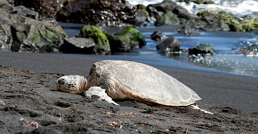 Tortoises resting on the black volcanic sand at the beach in Pahala, Hawaii. Photo via Flickr:Michelle