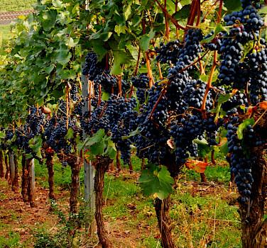 Wine tasting in vine-clad Nierstein, Rhineland-Palatinate, Germany. Flickr:Ulrich Vismann