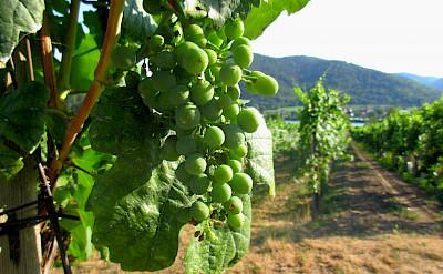 Vineyards along the Danube River near Dürnstein, Austria. Flickr:Bryn Jarviggosson
