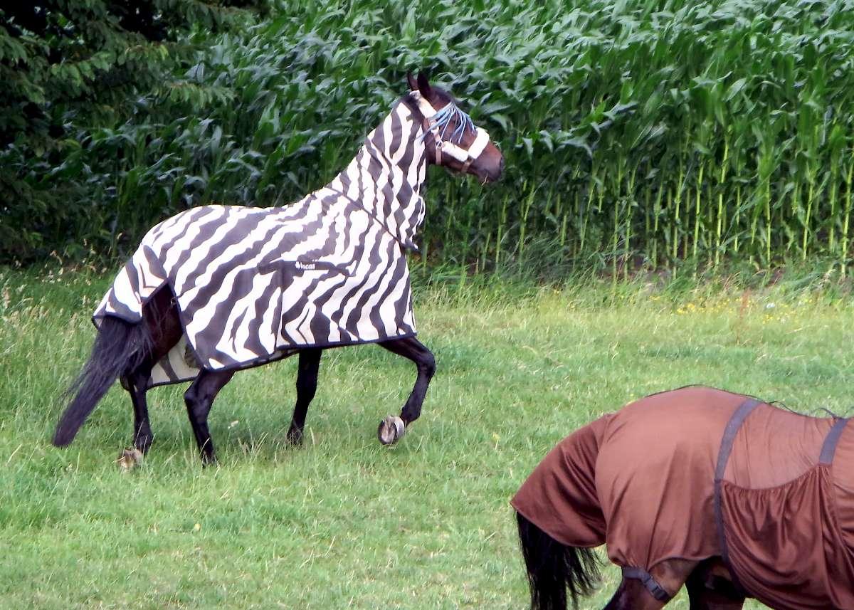 Zebra deer