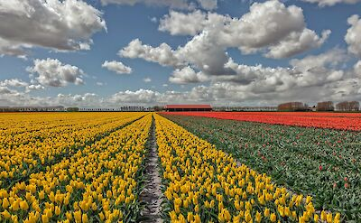 Springtime sees Holland overflowing with tulip fields! ©Hollandfotograaf