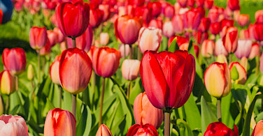 Tulips made the Netherlands famous. Flickr:Kelly Sikkema