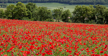 Poppy fields in Umbria, Italy. Photo via Flickr:Andrew Moore
