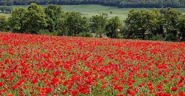 Poppy fields in Umbria, Italy. Photo via Flickr:Andrew Moore
