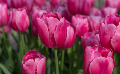 Tulips in Holland, of course! Flickr:nikontino