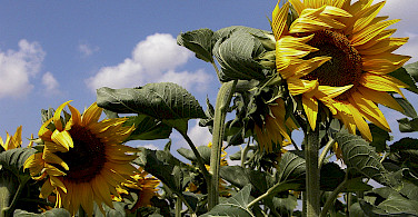 Cycling past sunflowers in the Loire Valley, France. Photo via Flickr:INRA DIST
