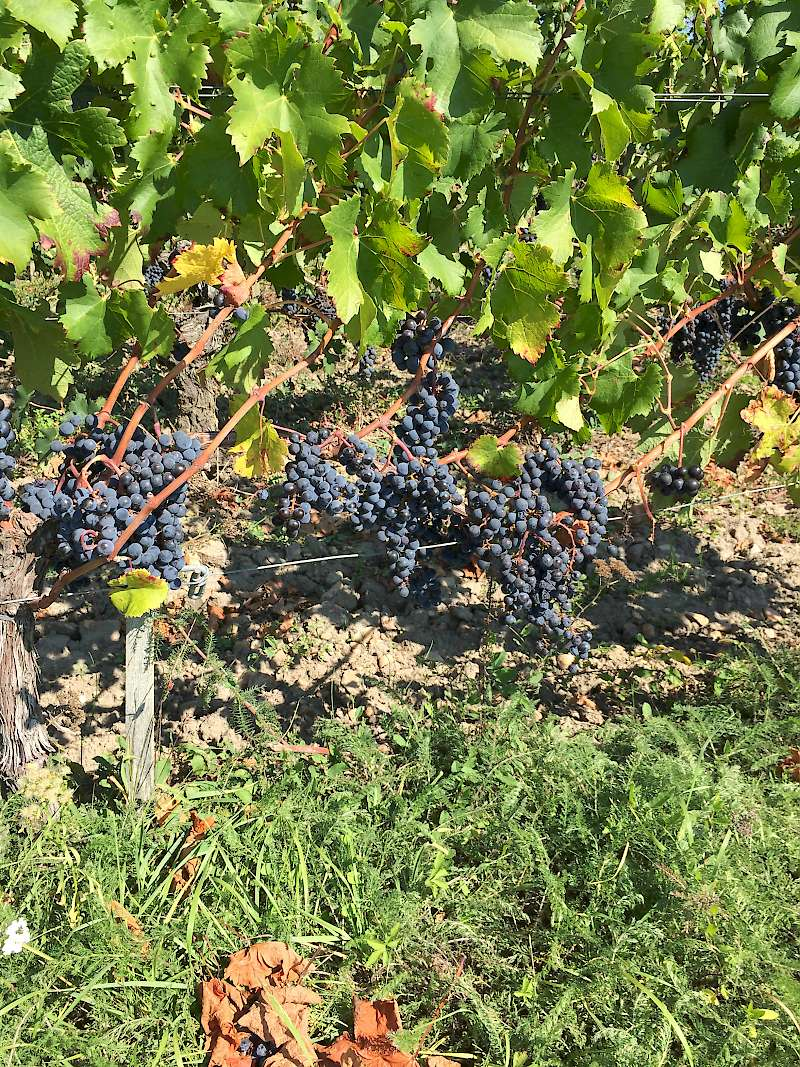 grapes ripe for the picking