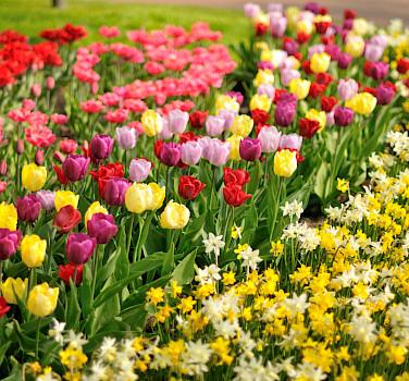 Tulips are a Dutch delight. Photo via Flickr:gnuckx
