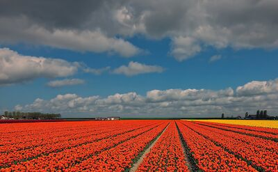 Tulip fields in the Springtime in the Netherlands. ©Hollandfotograaf