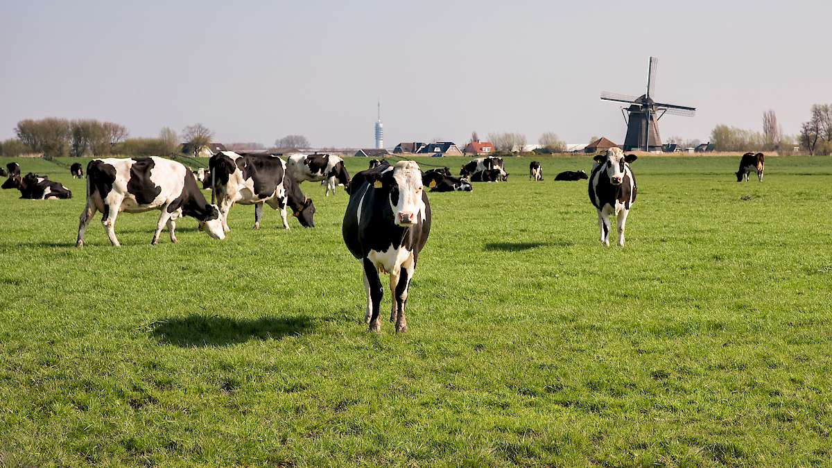 Cows at the cheese farm