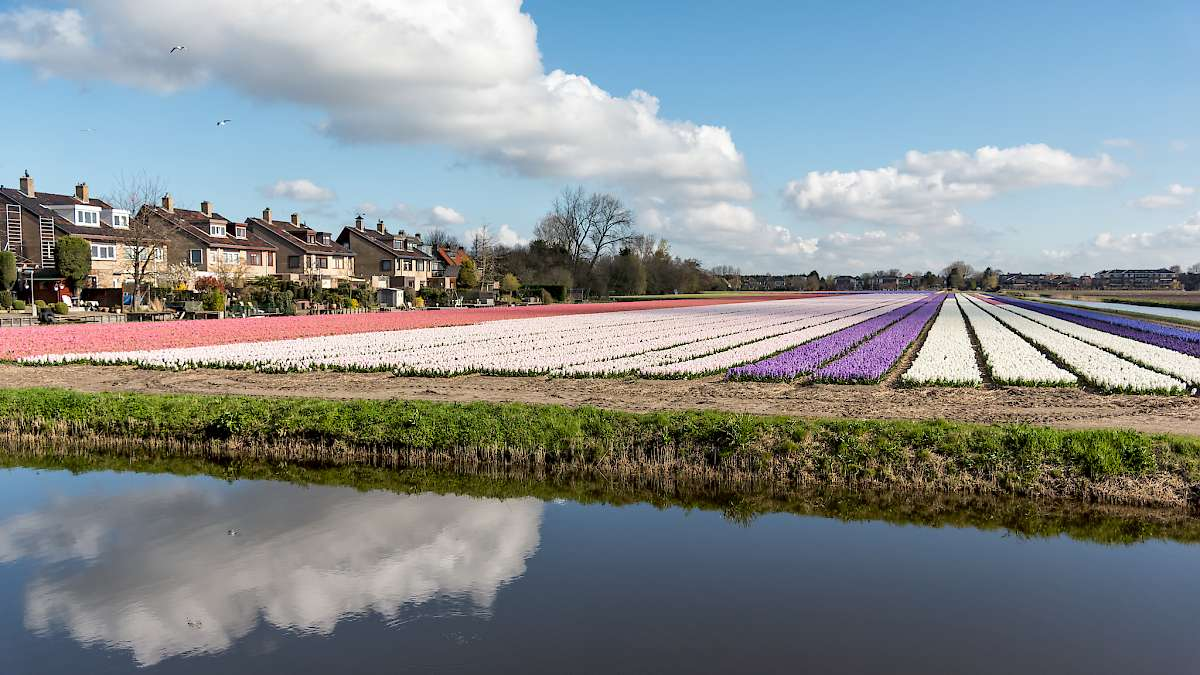 Fields of Hyacinths