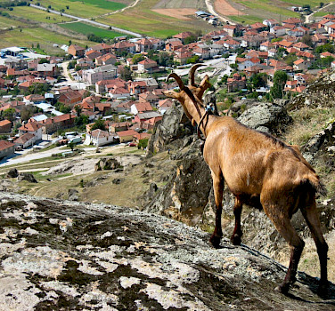 Mountain goat overlooking Skopje, Macedonia. Photo via Flickr:Pero Kvrzica