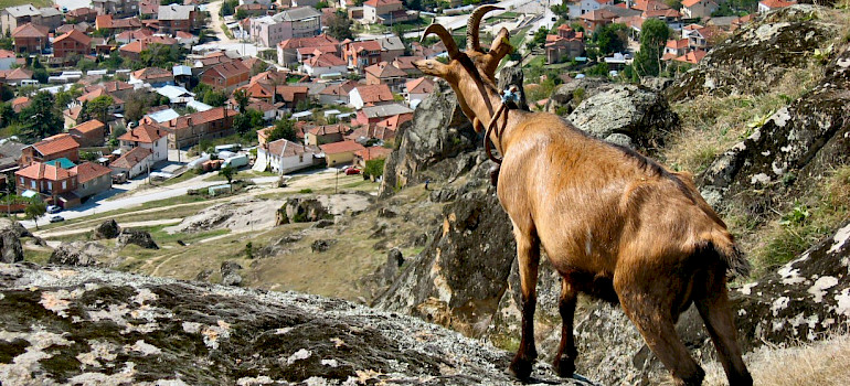 Mountain goat overlooking Bitola, Macedonia. Photo via Flickr:Pero Kvrzica