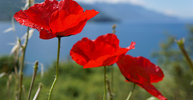 Wild poppies by Lake Ohrid, Macedonia. Photo via Flickr:By Inge
